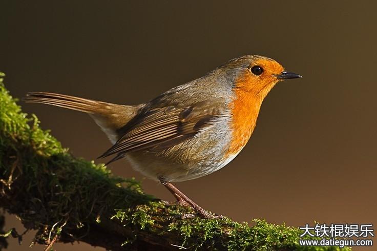 英国的国宝动物是什么,英国的国宝知更鸟资料介绍