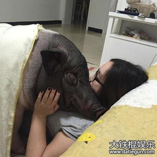 说到宠物猪,是不是会想到超萌超可爱的小猪