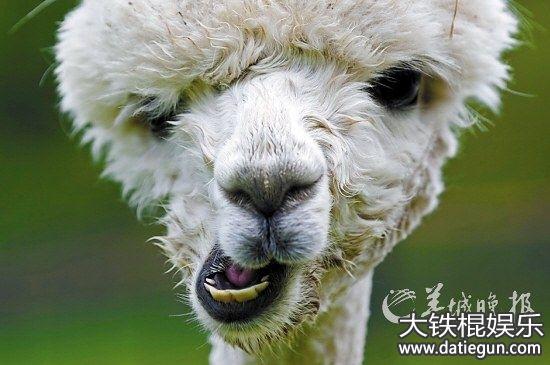 2016年最新羊驼搞笑图片恶搞可爱羊驼图片